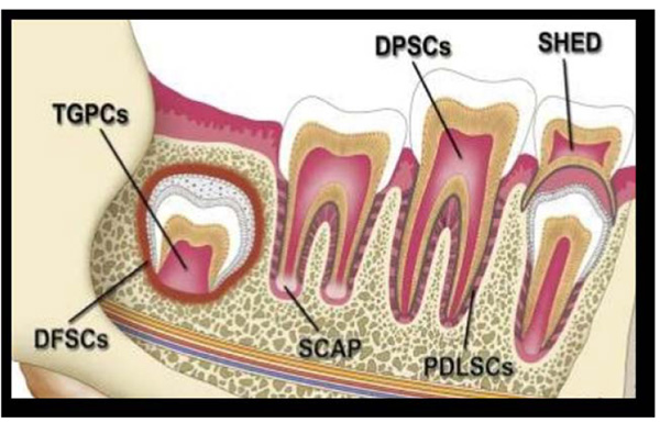 Concerns of a Pediatric Dentist in Dental Stem Cells: An Overview